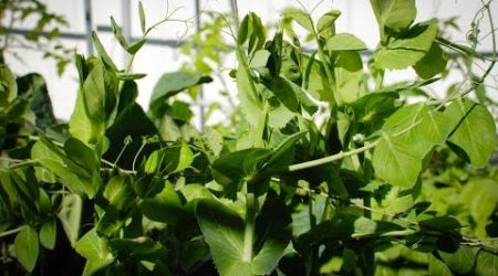 How to grow snow pea shoots (豆苗尖)