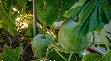 How to grow winter melon (冬瓜)