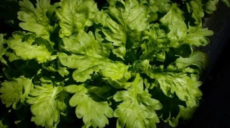 Introduce Tongho and how to grow 茼蒿(Garland Chrysanthemum )