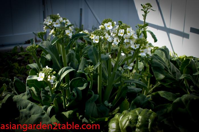 Gailan (Chinese Kale)