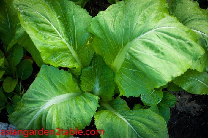 Leafy Mustard