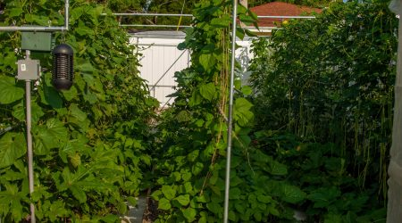 How to build a trellis structure for vegetable garden (结实耐用的蔬菜架子)