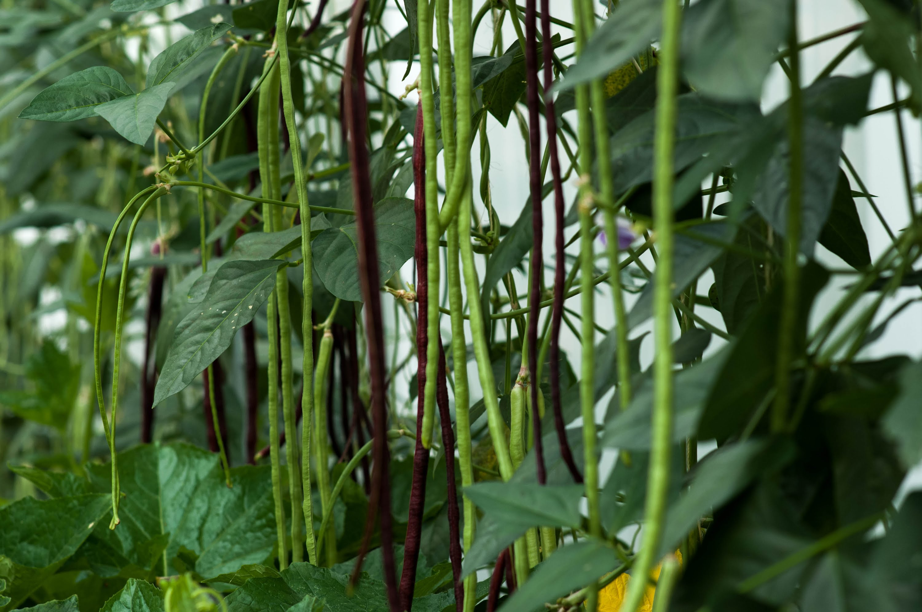 How To Grow Long Bean Super Productive 高产豇豆