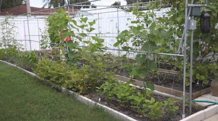 How to rescover your vegetable garden after flood (水灾后重建菜园)