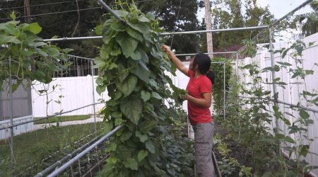 How to grow Malabar spinach (木耳菜)