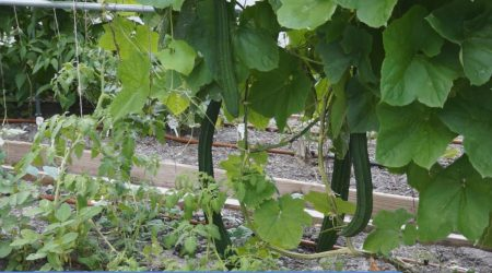 How to grow Angled Luffa (菱角丝瓜)