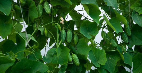 How to grow Tindora / Ivy Gourd (印度红瓜)