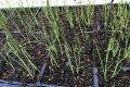 How to start bunching onion seeds (葱)
