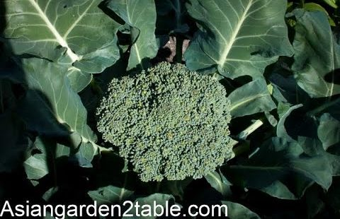 How to grow Broccoli with big and tight flower head