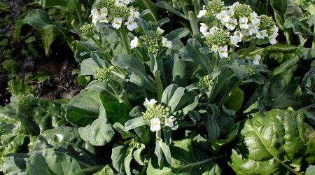 How to grow Gailan – Chinese broccoli