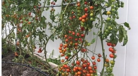 How to grow tomato at home on two bars trellis