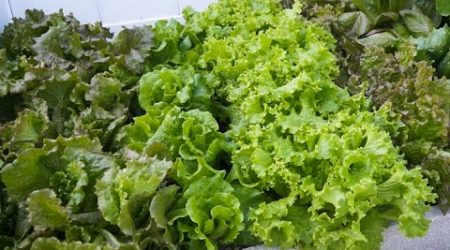 How to grow Non heading lettuce, colorful and tender!